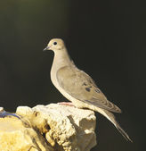 Mourning Dove, Zenaida macroura — Stock Photo