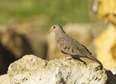 Common Ground Dove, Columbina passerina — Stock Photo