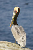 California Brown Pelican, Pelecanus occidentalis — Stock Photo