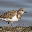 Ruddy Turnstone, Arenaria interpres - Stock Photo