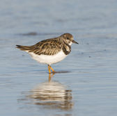 Ruddy Turnstone, Arenaria interpres — Stock Photo