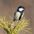 Great Tit, Parus major — Stock Photo