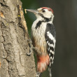 Stock Photo: White-backed Woodpecker, Dendrocopos leucotos