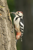 White-backed Woodpecker, Dendrocopos leucotos — Stock Photo