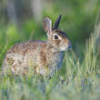 Eastern Cottontail Rabbit — Stock Photo
