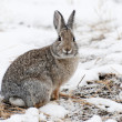 Mountain Cottontail — Stock Photo