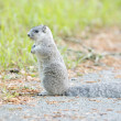 Delmarva Peninsular Fox Squirrel — Stock Photo