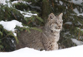 Lynx in Snow — Stock Photo