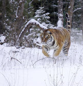 Amur Tiger — Stock Photo