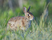 Eastern Cottontail Rabbit — Stock Photo