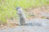 Delmarva Peninsular Fox Squirrel — Stock Photo