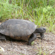 Endangered Gopher Turtle or Tortoise — Stock Photo