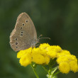 Spotted Brown Butterfly — 图库照片