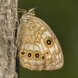 Spotted Brown Butterfly — Stock Photo