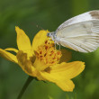 White Skipper Butterfly — Stock Photo