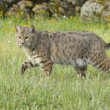 Bobcat in deep green grass — Stock Photo