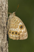 Spotted Brown Butterfly — Foto Stock
