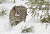 Bobcat in deep white snow — Stock Photo