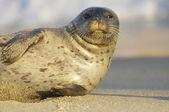 Endangered Harbor Seal — Stock Photo