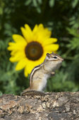 Siberian Chipmunk — Stock Photo