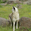 Coyote howling — Stock Photo #5153383