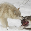 Wolf eating part of mule deer — Stock Photo