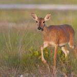 Endangered Key Deer walking — Stock Photo #5153406