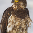 Young Alaskan Bald Eagle, Haliaeetus leucocephalus — Stock Photo