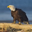 Alaskan Bald Eagle, Haliaeetus leucocephalus — Stock Photo