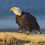 Alaskan Bald Eagle, Haliaeetus leucocephalus — Stock Photo #5170398