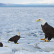 Stock Photo: AlaskBald Eagle, Haliaeetus leucocephalus