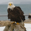 Alaskan Bald Eagle, Haliaeetus leucocephalus — Stock Photo #5170565
