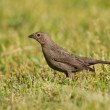 Brown-headed Cowbird, Molothrus ater — Stock Photo