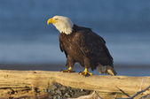 Alaskan Bald Eagle, Haliaeetus leucocephalus — Stock Photo