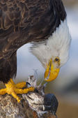 Alaskan Bald Eagle, Haliaeetus leucocephalus — Photo
