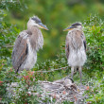 Great Blue Heron, Ardea herodias — Stock Photo #5186902