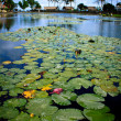 Candi waterlily — Stock Photo