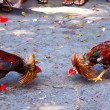 Rooster fight — Foto de Stock