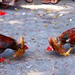Rooster fight - Stock Photo