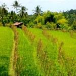 Rice field — Stock Photo #4602122