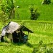 Ricefield house — Stock Photo
