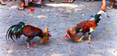 Rooster fight — Stock Photo