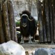Musk ox stand in zoo — Stock Photo