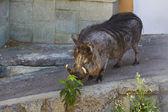 Javali no zoo — Foto Stock