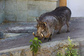 Wart hog in zoo — Foto Stock