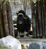 Carrinho de boi-almiscarado, no zoológico — Fotografia Stock