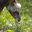 Stock Photo: Black vulture eat meat
