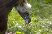Black vulture eat meat — Stock Photo