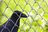 Crow behind wire — Stock Photo