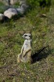 Surikata - suricate na trávě — Stock fotografie
